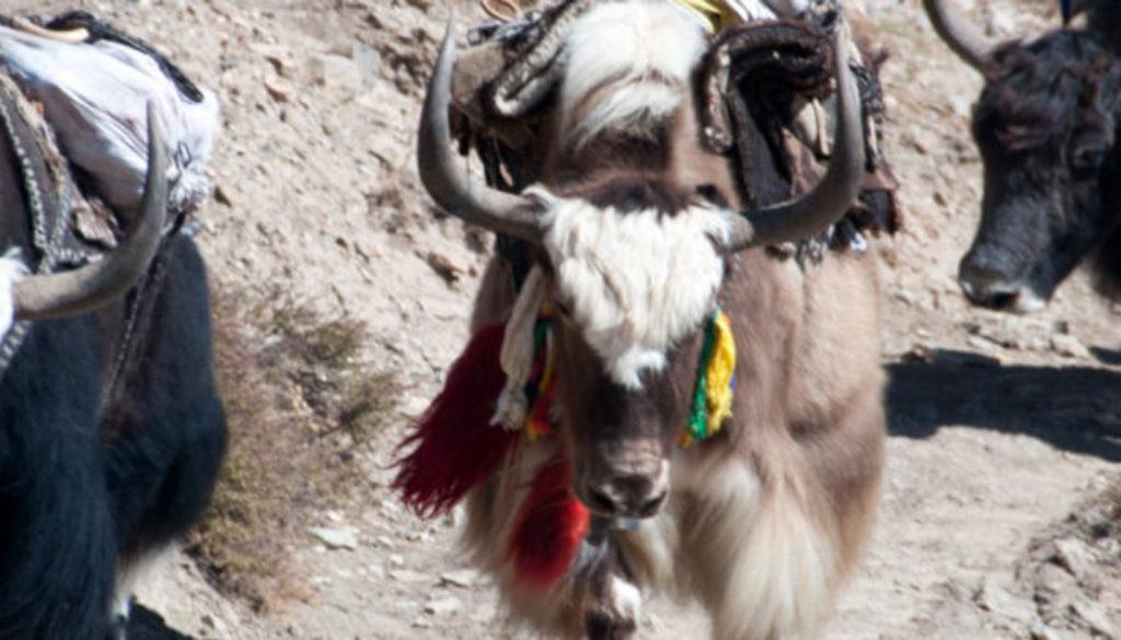 yaks3-1170